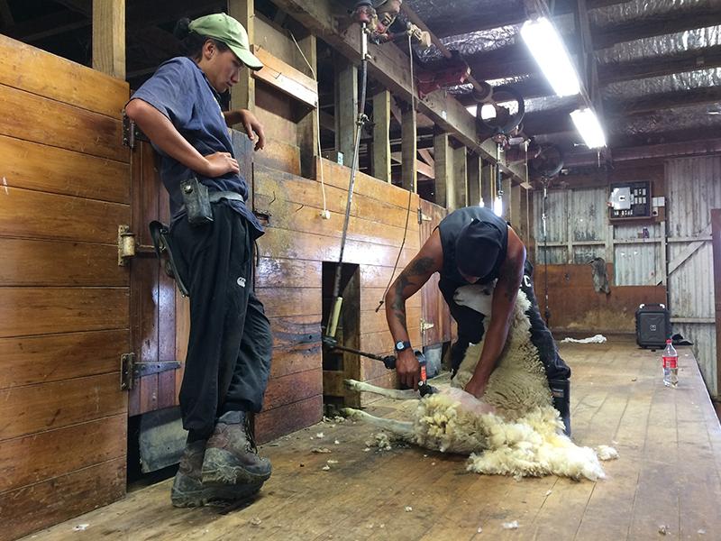 Sheep shearing New Zealand.jpg