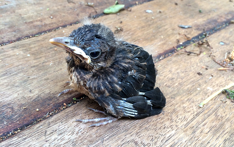 Baby blackbird fallen from nest