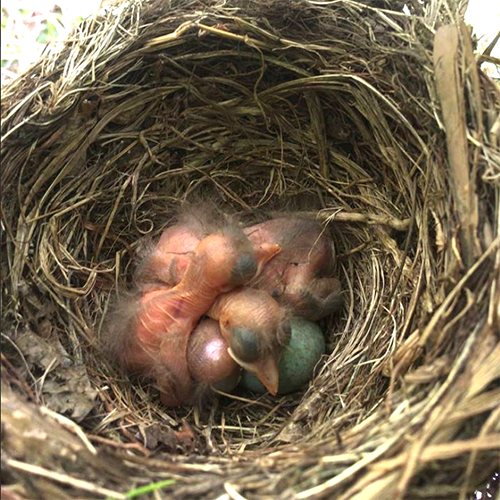 baby blackbirds two days old