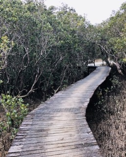 Mangroves board walk paihia.jpg