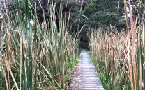 Raupo wetland